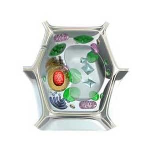 cellula vegetale